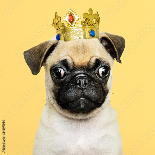 Foto  Cute Pug puppy in a gold crown
