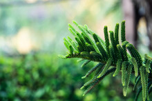 Close Up Leaf Of Norfolk Island Pine With Blurred Green Background. Concept For Natural Greenery Fresh Theme
