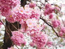 Pink Trumpet Flowers For Springtime Or Summer.