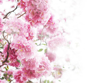 Floral Backdrop Of Pink Flowers Over White Background.