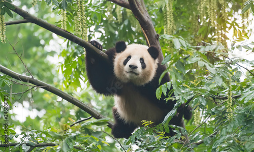 Foto op Canvas Panda Giant panda over the tree.