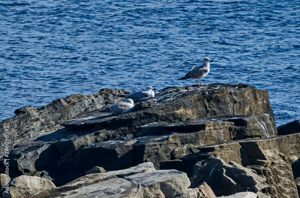 Seascape of fog morning Black Sea with Silver gulls or Larus argentatus relax on the coast near  ancient city  Nessebar, Bulgaria, Europe
