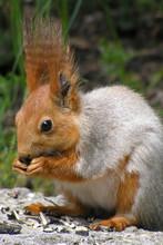 Squirrel Eats Sunflower Seeds ...