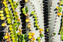 Three Cactus Plants With Green Leaves (alluaudia Procera) Forming A Zip-like Gap, Closeup Image
