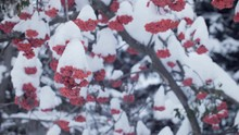 Bunches Of Red Rowan Tree, Shr...