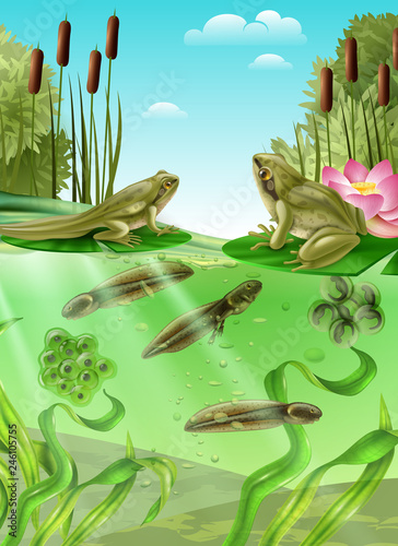 Poster Ouest sauvage Frog Life Cycle Realistic Image