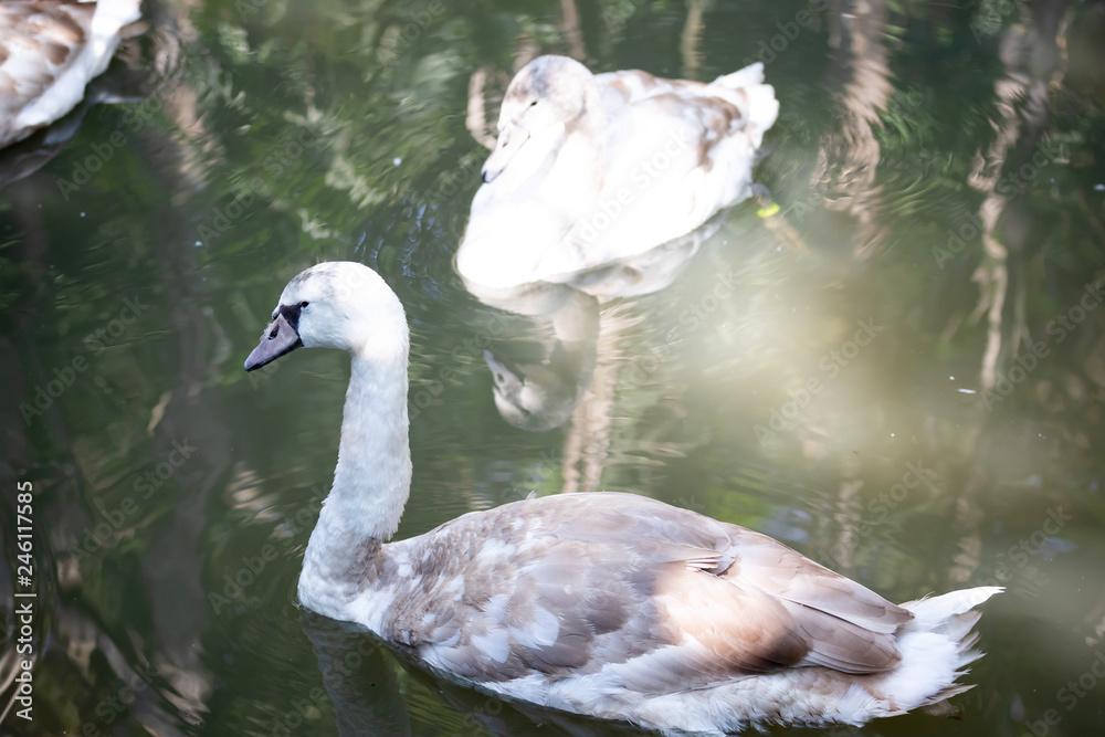 big swan Bird In the pool