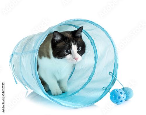 Obraz na plátně siamese cat in studio
