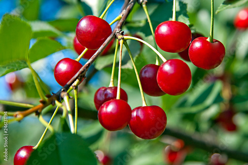 red berries of cherry hang on a branch tree