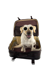 HAPPY DOG GOING ON VACATIONS.  LABRADOR INSIDE A RED VINTAGE SUITCASE. ISOLATED SHOT AGAINST WHITE BACKGROUND.