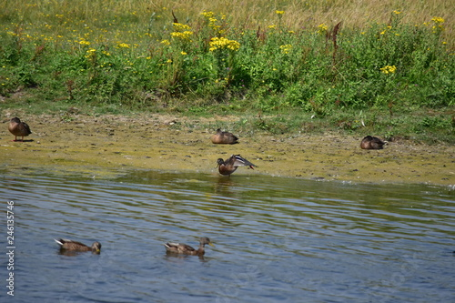 canard sauvage marais Fototapeta