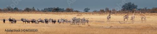 Poster Antelope Großes Panorama - Eine Herde Zebras, Gnus und Giraffen im Grasland des Moremi Nationalparks, Okavango Delta, Botswana