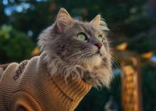 Grey Longhaired Cat Wearing A Beige Sweater