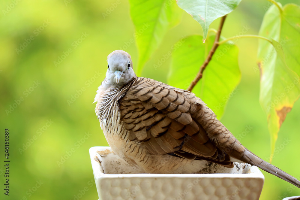 A wild Zebra Dove relaxing on the white planter with blurry vibrant green foliage in the background