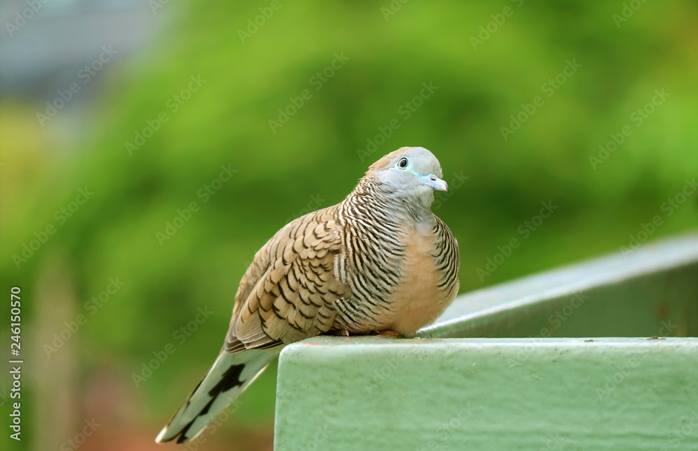 Close Up of a Wild Zebra Dove at the balcony looking up to the sky
