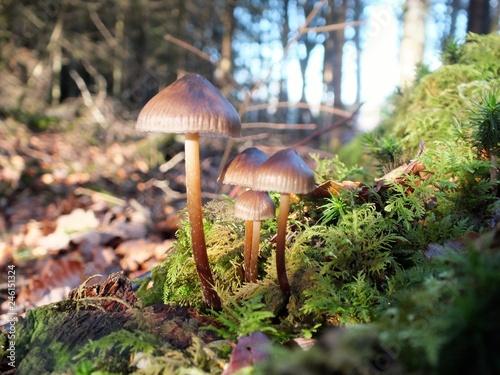 Fotografie, Obraz  Champignons sur de la mousse
