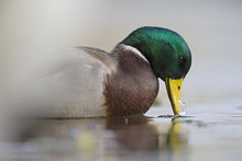 A Male Mallard Duck (Anas Platyrhynchos) Drinking In An Shallow Pond In The City Of Berlin Germany.