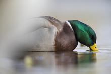 A Male Mallard Duck (Anas Plat...