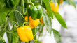 Raw and ripe yellow bell pepper plant growing in organic vegetable garden