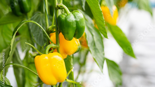 Fotografie, Obraz  Raw and ripe yellow bell pepper plant growing in organic vegetable garden