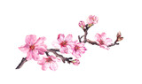 Flowering cherry tree. Pink apple flowers, sakura, almond flowers on blooming branch. Water color