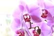 Nahaufnahme einer Orchidee Phalaenopsisblüte
