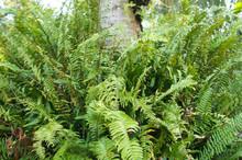 Nephrolepis Exaltata Or Sword Fern Green Plant