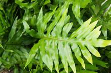 Phymatodes Scolopendria Green ...