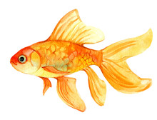 Gold Fish Isolated On White Ba...