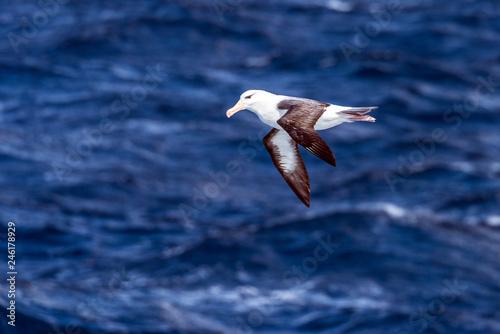 Fotografija  Black-browed Albatross over open ocean