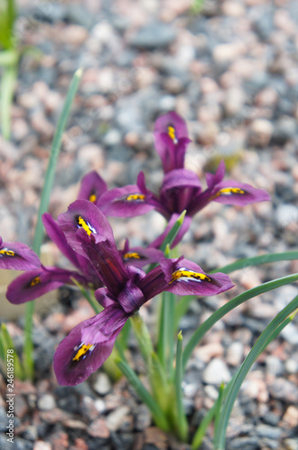 Iris reticulata or harmony mini iris purple red flowers
