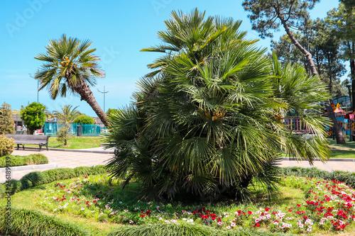 Chamaerops humilis, variously called European fan palm or the Mediterranean dwarf palm in Batumi boulevard, Georgia