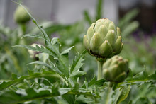 Globe Artichoke Plant, Cynara ...