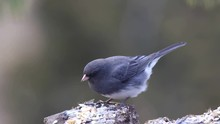 Dark-eyed Junco (Junco Hyemalis)  Eats Seeds On A Stump In A Cold Winter Day