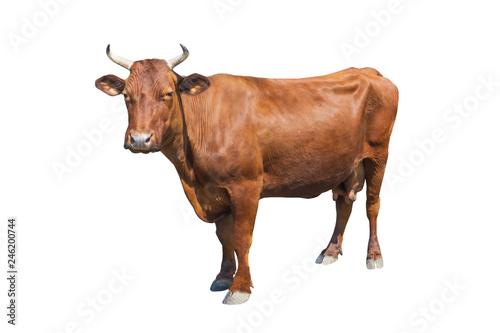 Garden Poster Cow cow