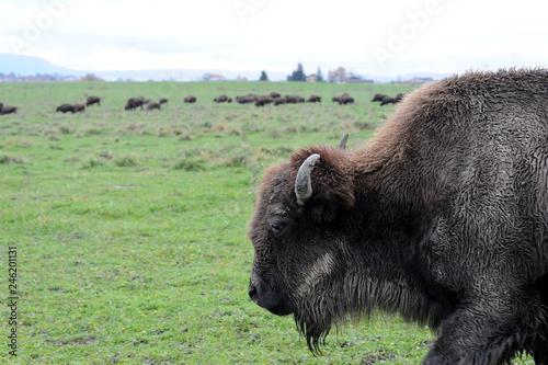 Staande foto Buffel Bisons
