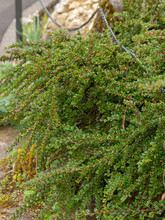 Cotoneaster Horizontalis - Cot...