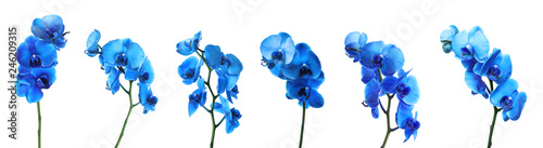 Set of beautiful blue orchid phalaenopsis flowers on white background
