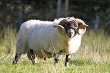 Scottish Sheep - Long Hair And Mighty Horns, Scotland