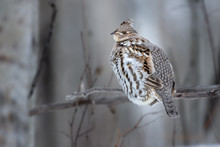 Ruffed Grouse (Bonasa Umbellus) Perched On Branch Above Snow