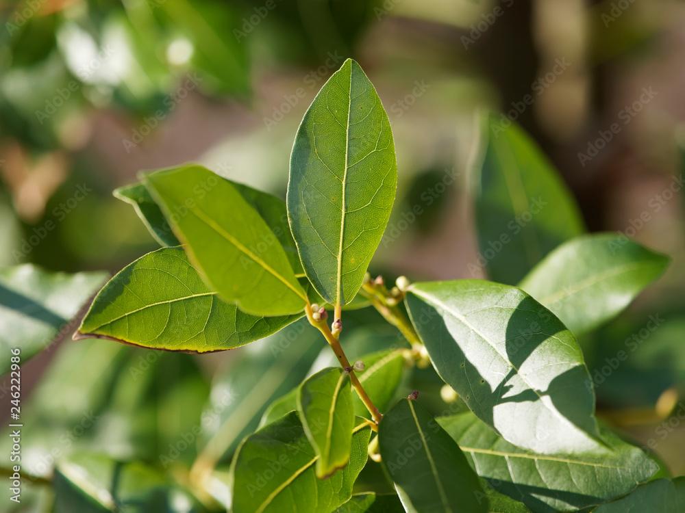 Fototapeta Laurus nobilis - Laurier - Laurier vrai - laurier-sauce - laurier noble ou herbe-aux-couronnes aux feuilles et branches aromatiques et symbolique