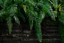 Swamp Ferns Growing Over A Wall