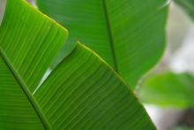 Close Up Of A Banana Tree Leaf