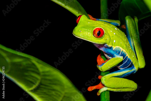Spoed Foto op Canvas Kikker Red-eyed Tree Frog (Agalychnis callidryas)