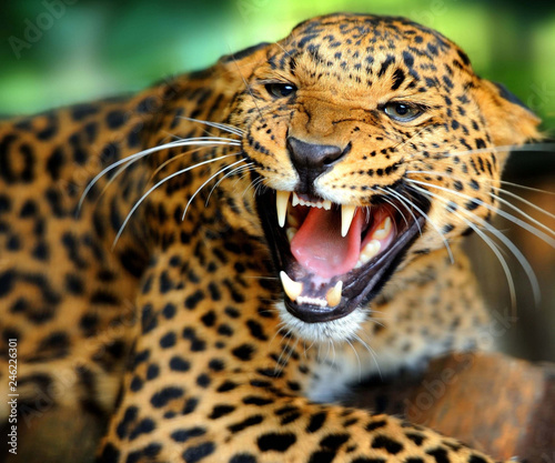 Jaguar growls at the camera opening the mouth Canvas Print