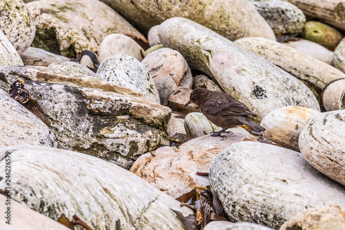 Fotografia, Obraz  Tussock bird Falkland Carcass Islands