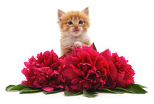 Red Peonies And Red Cat.