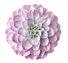 Light Pink  Flower Dahlia  On A White  Background Isolated  With Clipping Path. Closeup.  For Design. Dahlia.