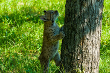 Young Lynx Climbing Tree