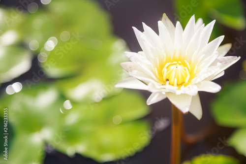 Poster de jardin Nénuphars beautiful blossoming aquatic white color water lily (lotus) flower in green pond background. Nature, Natural Plant, Flora, Environment, Life Organism, Ecology, Botany and Buddhism Symbol concept